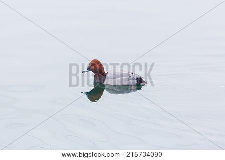 Eurasian Male Pochard Duck (aythya Ferina) Swimming Mirorred Water Surface