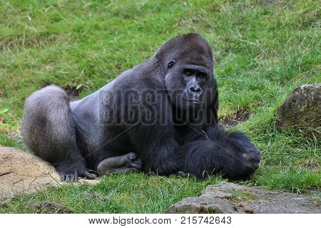 Endangered eastern gorilla on the green grassland, silverback male, Gorilla beringei, rare african animal. Animals in captivity.