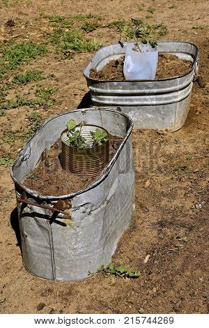 Old copper boiler and galvanized wash tub are being used as mini gardens for young tomato plants