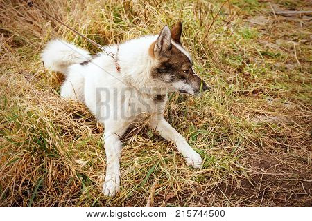 Husk dog. Husky lies on the grass. Dog on the background of grass and sky. The dog is close-up.