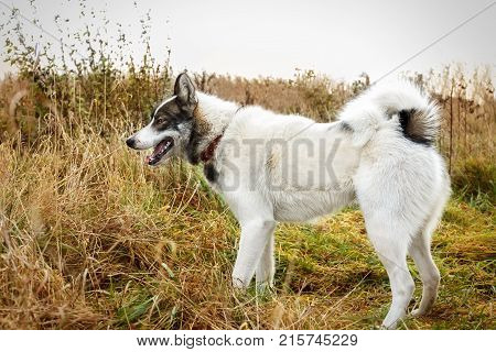 Husk dog. Husky. Dog on the background of grass and sky. Close-up.