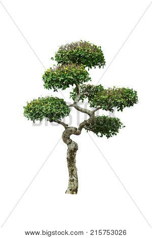 Dwarf tree isolated on a white background.