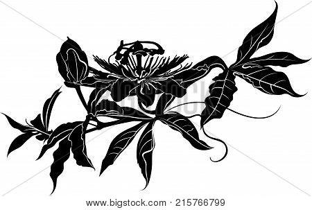 Passionflower . Passiflora (passionflower) .  Passion flower