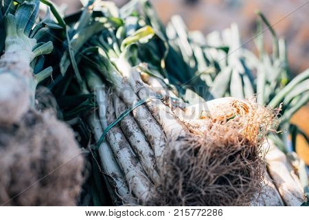 Closeup of a bunch of fresh organic locally sourced sping onions called calcots or cambray typical winter mexican or spanish catalan dish prepared on charcoal grill