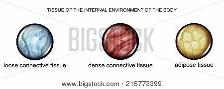 vector illustration of tissues of the internal environment of the body: loose dense connective tissue and adipose tissue