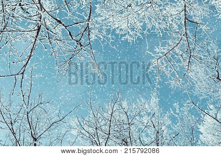Winter landscape. Winter frosty tree tops against blue sky in the winter forest. Snowy winter treetops under falling snow, winter nature landscape scene. Winter forest in sunny weather, winter background
