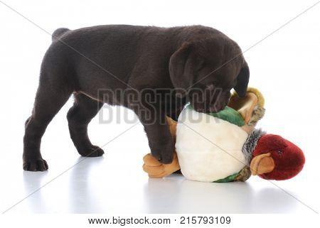 female chocolate labrador retriever with stuffed bird on white background