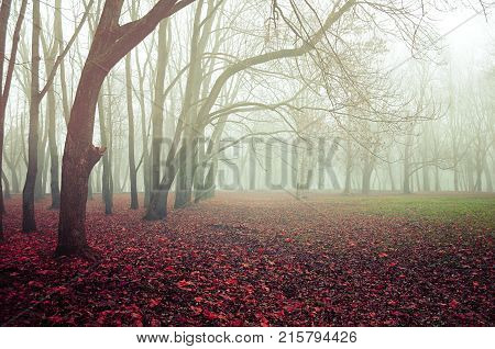 Autumn landscape - foggy autumn forest with old bare autumn trees and fallen red autumn leaves on the ground. Colorful autumn foggy nature, fog in the autumn November park. Mysterious autumn landscape scene