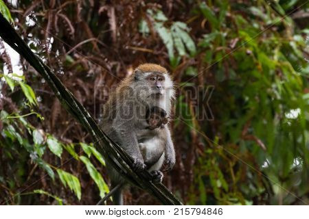 Long-tailed Macaque (Crab-eating macaque) breastfeeding a baby sitting on cable at fraser's hill, Malaysia, Asia (Macaca fascicularis)