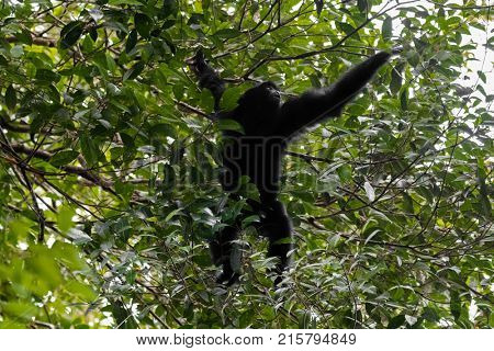 Siamang, the largest gibbon with black furs native to forests in Malaysia reaching out for berry to eat at Fraser's hill, Malaysia, South east Asia (Symphalangus syndactylus)
