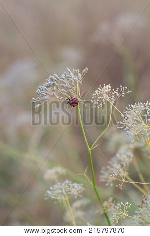 Closeup of dill umbrellas. Dill growing on the field background. The insect on the dill umbrella. Dry fennel umbrellas with seeds. Shallow depth of field.