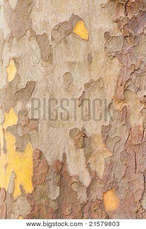 Planetree Bark Background