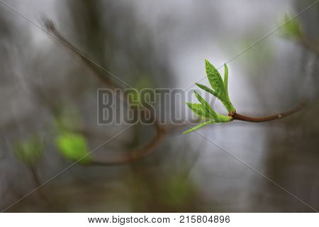 After a long winter on the branches appear first tentative leaves.