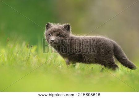 Very cute blue morph arctic fox cub standing alone in the meadow in summer in Hornstrandir Nature reserve, Iceland