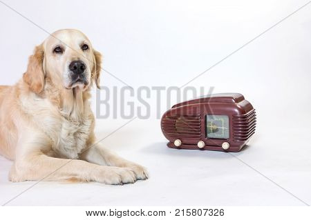 Studio shot of Golden Retriever Dog is sitting next to the vintage radio on the light background. The dog is looking at the camera. All potential trademarks are removed.