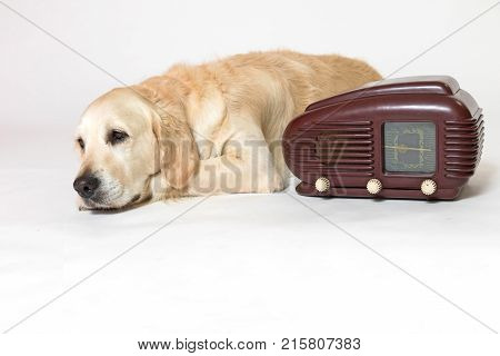 Studio shot of cool Golden Retriever Dog laying next to the vintage radio on the light background. All potential trademarks are removed.
