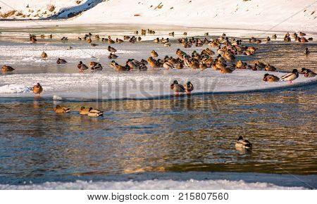Flock Of Ducks On The Ice Of Frozen River