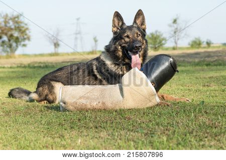 Portrait of German Shepherd Dog lying behind the perfector bite sleeve for dog training outdoors. The dog is looking at the camera.