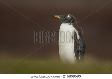 Young molting gentoo penguin standing alone in the field of grass, Falkland islands