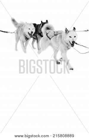 A team of sled dogs running in the snow. Northern sled dogs are used as transportation. A sturdy and draft sled Husky. poster