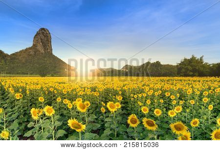 Beautiful Sunflower Fields With Moutain Background
