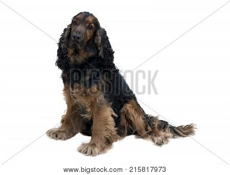 adorable obedient black and tan cocker spaniel with healthy teeth sat isolated on a white background