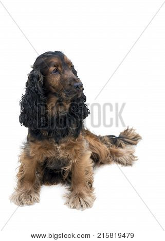 adorable obedient black and tan cocker spaniel sat looking to the side isolated on a white background