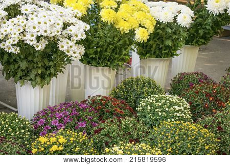 Varietal chrysanthemums in a flower shop. White yellow red and pink chrysanthemum in vases and pots in flower market. Bouquets of chrysanthemums. Flowers for Trade flower-show