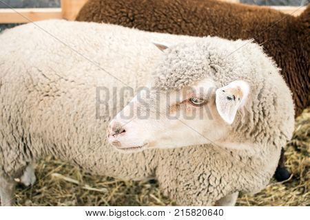 Close up of white gray sheep of the Romanov breed. Sheep in a pen with hay. Sheep breeding