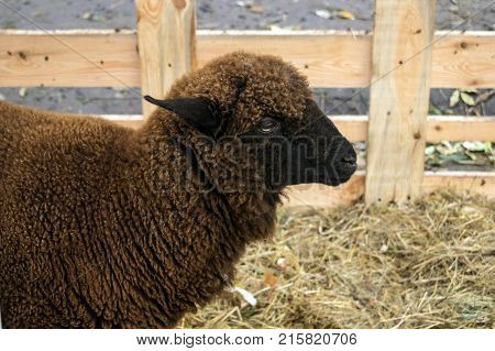 Close up of dark brown sheep of the Romanov breed. Black sheep in a pen with hay. Sheep breeding
