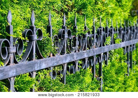 Beautiful openwork metal fence near the green thuya wall. Wrought-iron fence with background of green branches of thuya. Decorative cast iron fence. poster