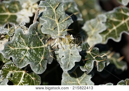 Leaves Of Purple African Nightshade (solanum Marginatum)