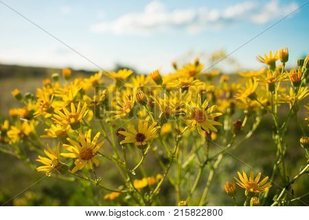 Narrow-leaved ragwort (Senecio Inaequidens). Close-up of yellow meadow flower