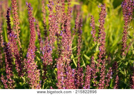 Blooming garden sage (common sage culinary sage) Salvia officinalis. Field of fresh purple flowers. Pink summer meadow sage background