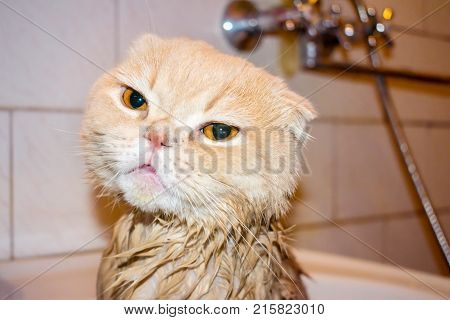 Wet Scottish Fold cat during bathing. Funny sad cream cat with folded ears sits in the bathroom. Domestic Cat bath