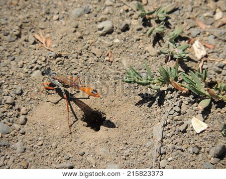Burrowing insect near its home in the dirt