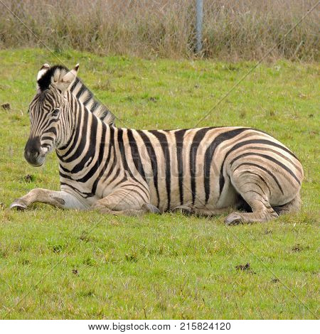 Zebra resting near the fence at Wildlife Safari game park near Winston Oregon during the day