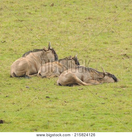 Group of Wildebeest resting at Wildlife Safari game park near Winston Oregon during the day