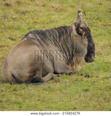 Wildebeest resting at Wildlife Safari game park near Winston Oregon usa during the day