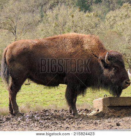 American buffalo standing near feeding area at Wildlife Safari game park near Winston Oregon usa