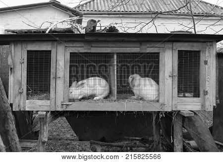 Spring day. In the frame is a wader with two white rabbits. Village. Horizontal frame. Photo taken in Ukraine Kiev. Black and white image