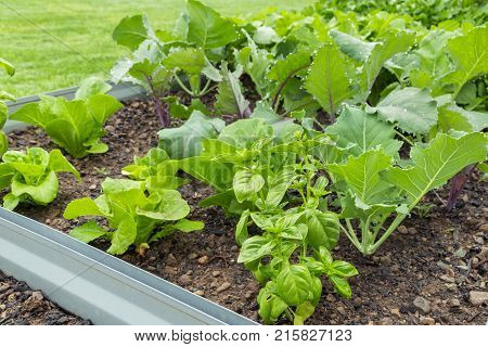 raised bed in vegetable garden with leafy vegetables