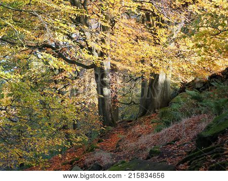 sunlit beech forest with two ancient trees in autumn with glowing golden leaves on a sloping hill in the calder valley in yorkshire near hebden bridge