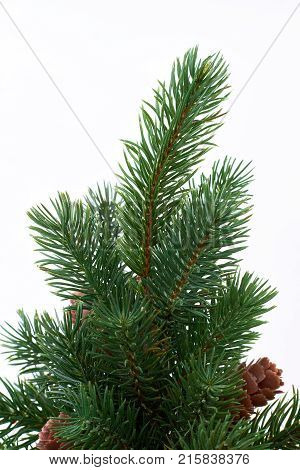Branch of evergreen Christmas tree. Green Christmas spruce with cones isolated on white background close up. Evergreen Christmas plant.