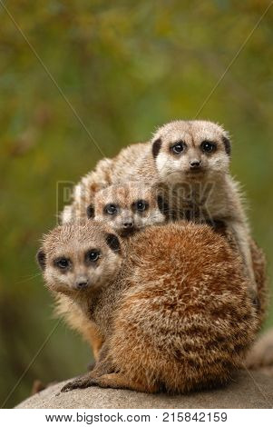 Meerkats are an extremely social animal as seen here with this family group.