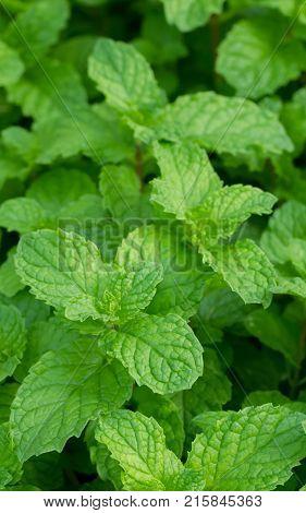 Mint Plant Grow At Vegetable Garden,mint