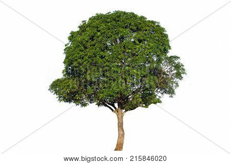 Mango tree (Mangifera indica) tropical tree in the northeast of Thailand isolated on white backgroundtree isolated on white background.