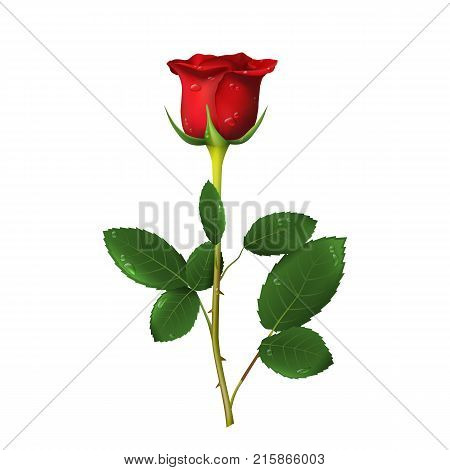 Single beautiful red rose with thorns and drops of water isolated on white background. Vector illustration