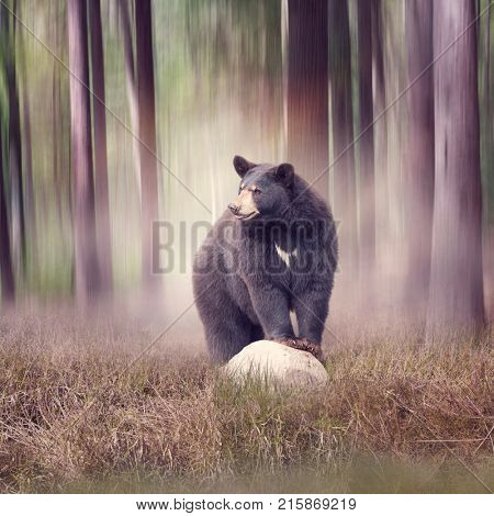 Black bear on a rock  in the woods