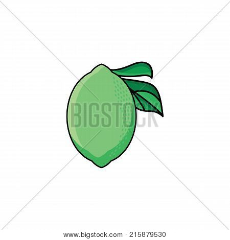 vector flat sketch style green fresh ripe lime. Isolated illustration on a white background. Healthy vegetarian eating, dieting and lifestyle design object.